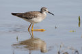 Lesser yellowlegs wading in a pond tringa flavipes shallow santa ana wildlife refuge texas Stock Images