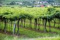 Lessinia (Veneto, italy), vineyards at summer Royalty Free Stock Photo