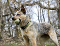 Let s play red heeler outside with her green tennis ball ready to Royalty Free Stock Photo