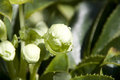 Leten rose flower buds with rain drops Royalty Free Stock Photo