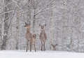 Lets It Snow: Two Snow-Covered Red Deer Cervidae Stand On The Outskirts Of A Snow-Covered Birch Forest.Two Female Noble Deer. Royalty Free Stock Photo