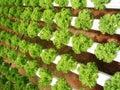 Lettuce Stock Photography