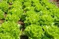 Lettuce Royalty Free Stock Photo