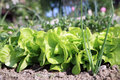 Lettuce in ecological home garden young eco friendly backyard vegetable Royalty Free Stock Image