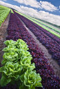 Lettuce field Royalty Free Stock Image