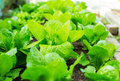 Lettuce field close up Royalty Free Stock Photo