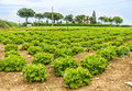Lettuce field panorama view of a Royalty Free Stock Photos