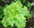 Lettuce fresh vegetable and nontoxic in the garden Stock Images