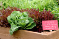 Lettuce Garden Stock Photo