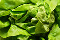 Lettuce green leaves of fresh Royalty Free Stock Image