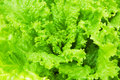 Lettuce green for your design Royalty Free Stock Images