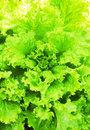 Lettuce green for your design Royalty Free Stock Photography