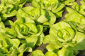 Lettuce in a greenhouse Stock Photos