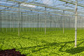 Lettuce greenhouse  Stock Photos