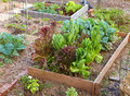 Lettuce and greens garden a raised bed with a variety of organic lettuces growing together Royalty Free Stock Images