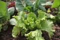 Lettuce growing in the garden fresh iceberg Stock Photo