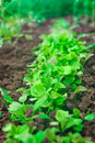 Lettuce growing in the greenhouse, closeup Royalty Free Stock Photo
