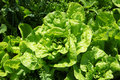 Lettuce growing in the kitchen garden. Top view. Royalty Free Stock Photo