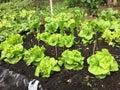 Lettuce growing in raised bed