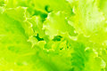 Lettuce growing in the soil Royalty Free Stock Photo