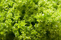Lettuce leaves background Stock Photography