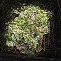 Lettuce leaves on a compost heap artistically alienated to create grungy somber atmosphere Royalty Free Stock Photo