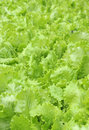 Lettuce leaves fresh with water droplets in summer garden Stock Photos