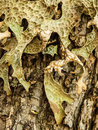 Lettuce lichen on tree trunk pale green lobaria oregana grows the oak in the forest Stock Photography