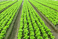 Lettuce plant in field Stock Photos