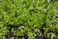 Lettuce plant growing in the vegetable garden,Lettuce sunlight, Royalty Free Stock Photo