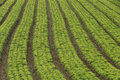 Lettuce plantation of familiar agriculture in brazil Stock Images