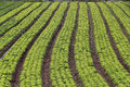 Lettuce plantation of familiar agriculture in brazil Stock Photo