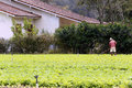 Lettuce plantation of familiar agriculture in brazil Stock Photos