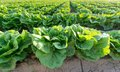 Lettuce plantation wide angle view of Stock Image