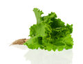 Lettuce with root Stock Image