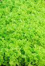 Lettuce or Salad Leaves Royalty Free Stock Photo
