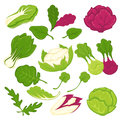 Lettuce salads leafy vegetables vector isolated icons set