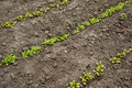 Lettuce seedlings in rows Stock Photos