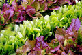 Lettuce seedlings in varieties Royalty Free Stock Photos