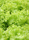 Lettuce texture Royalty Free Stock Photo