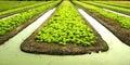 Lettuce vegetable garden plant Royalty Free Stock Photo