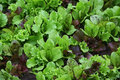 Lettuce with water drops on a garden bed in day Stock Photography