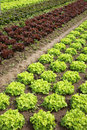 Lettuces in the fields Royalty Free Stock Photo