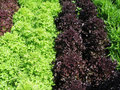 Lettuces in a garden Royalty Free Stock Photography