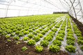 Lettuces in a hothouse Royalty Free Stock Photo