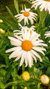Leucanthemum vulgare daisy the oxeye ox eye vs is a flowering plant native to europe widespread and the temperate regions of Stock Photo