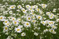Leucanthemum vulgare meadows wild flowers with white petals and yellow center in bloom Royalty Free Stock Photo