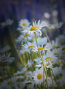 Leucanthemum vulgare oxeye daisy gn wildflower during summer Stock Photo