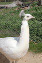 Leucistic white peafowl portrait of a at zoo in country victoria australia Royalty Free Stock Photos