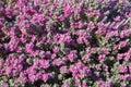 Leucophyllum shrub latin name - Leucophyllum frutescens. Soft focus, selective focus Royalty Free Stock Photo